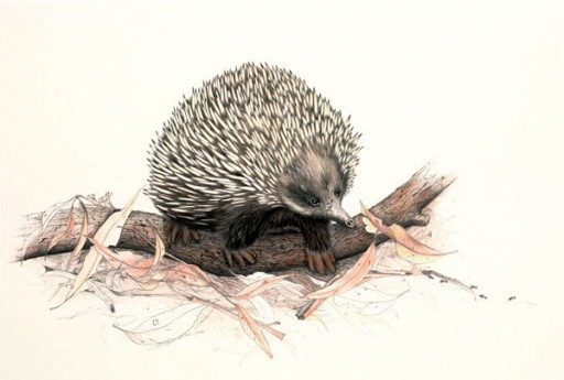 Australian Wildlife Print - Echidna