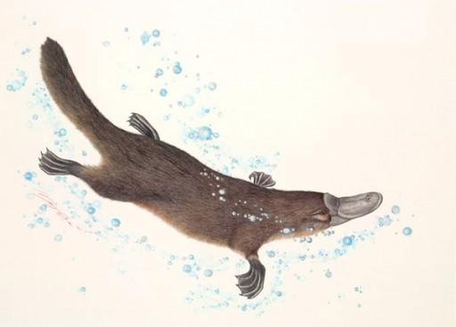 Australian Wildlife Print - Platypus