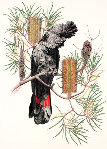 Limited Edition - Red-Tailed Black Cockatoo by Meg Cole