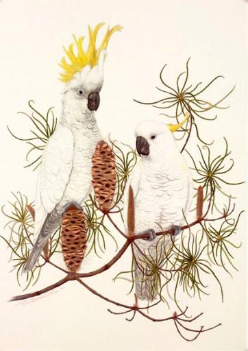 Sulphur-crested Cockatoos - Meg Cole