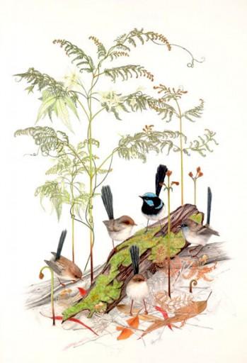 Australian Wildlife Print - Superb Fairy-wrens
