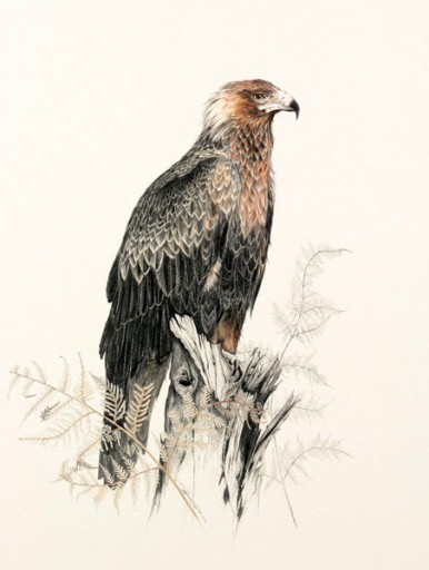 Australian Wildlife Print - Wedge-tailed Eagle